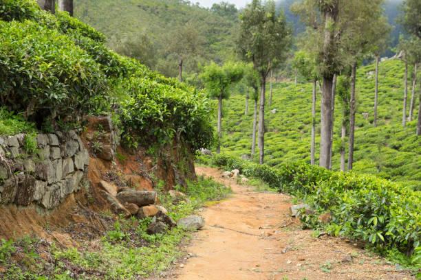 Schotterpiste in Teeplantagen – Foto