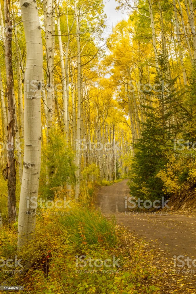 Dirt road leading through a grove of Aspen Trees on Colorado during the Fall season stock photo