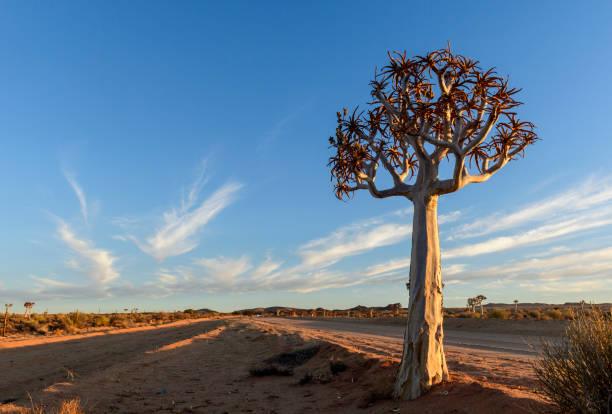 Feldweg erstreckt sich bis zum Horizont am Köcherbaum vorbei – Foto