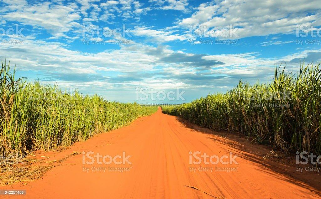 Estrada de terra cercada por plantações de cana de açúcar - foto de acervo