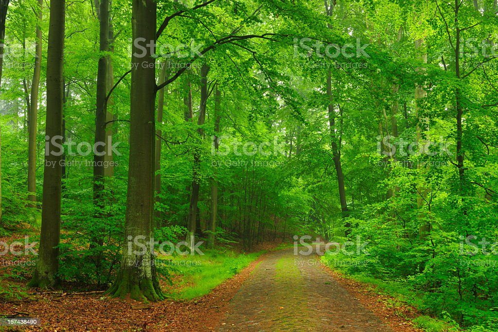 Dirt Road through Beech Forest royalty-free stock photo