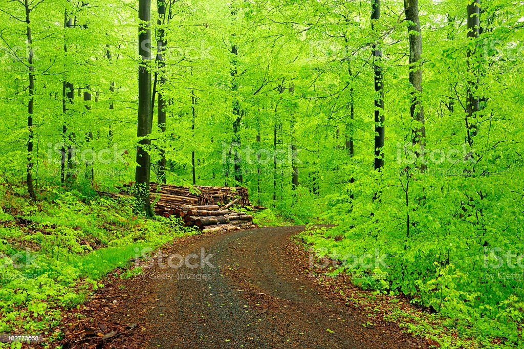 Dirt Road through Lush Beech Tree Forest after Spring Rain royalty-free stock photo