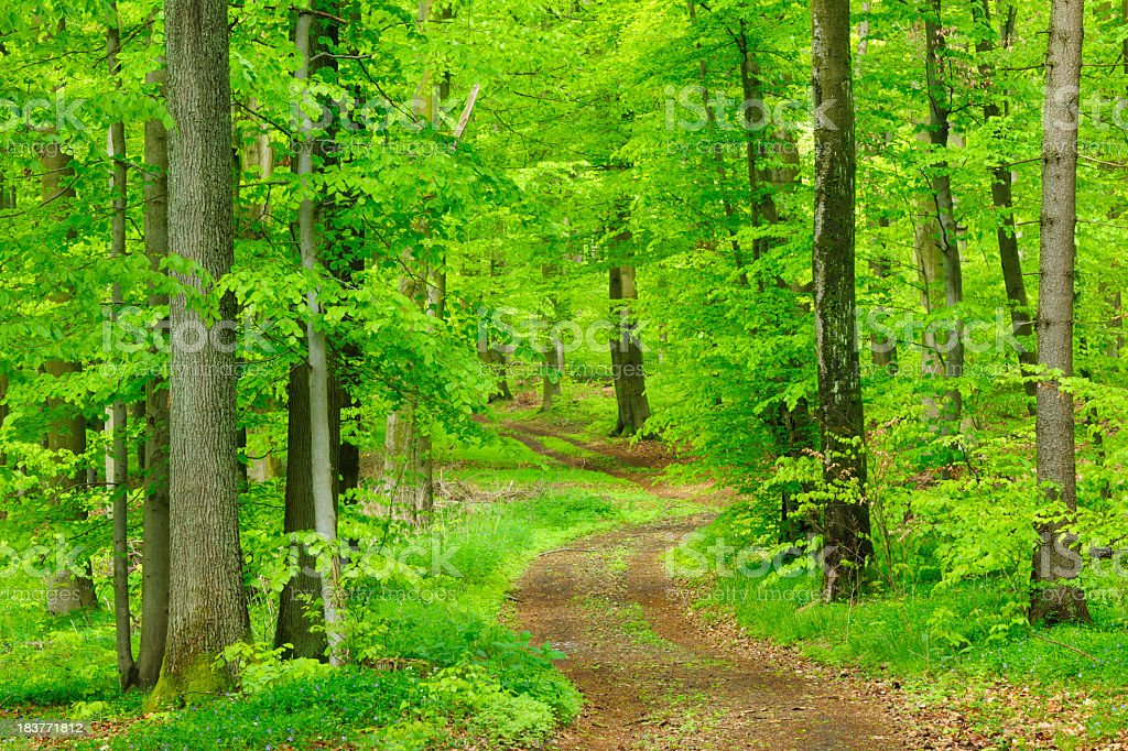 Dirt Road through Lush Beech Tree Forest in Spring royalty-free stock photo
