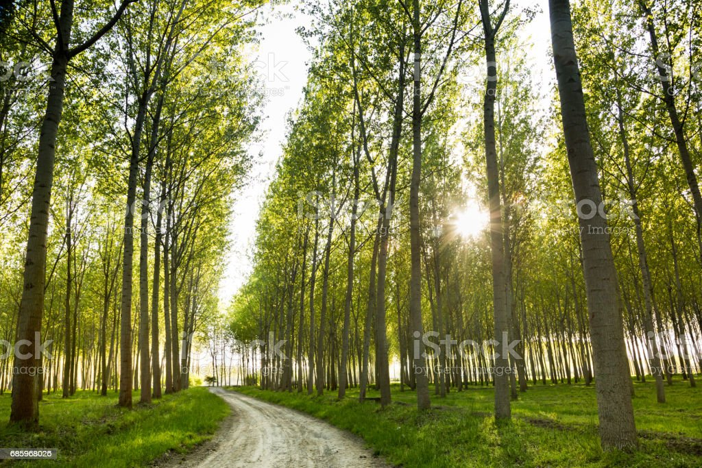 dirt road through poplar trees stock photo