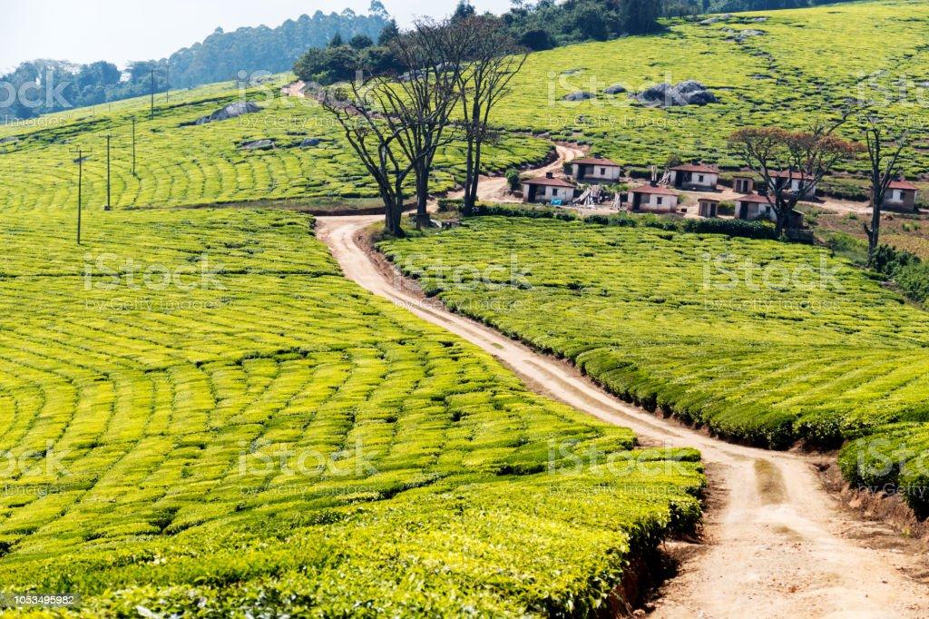 Chemin de terre à travers les plantations de thé dans les hautes-terres méridionales de Mufindi en Tanzanie - Photo