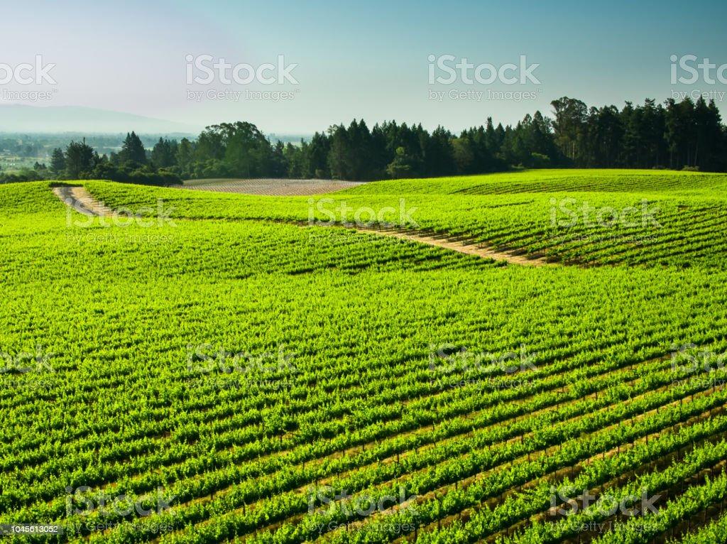 Dirt Road Through Vineyard stock photo