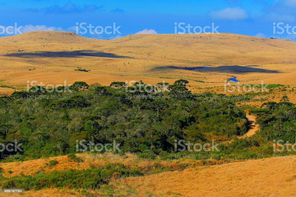 Dirt road to meadows and Araucarias at sunrise, Southern Brazil landscape stock photo