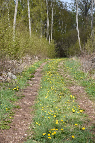 Dirt road with blossom dandelions in the green grass stock photo