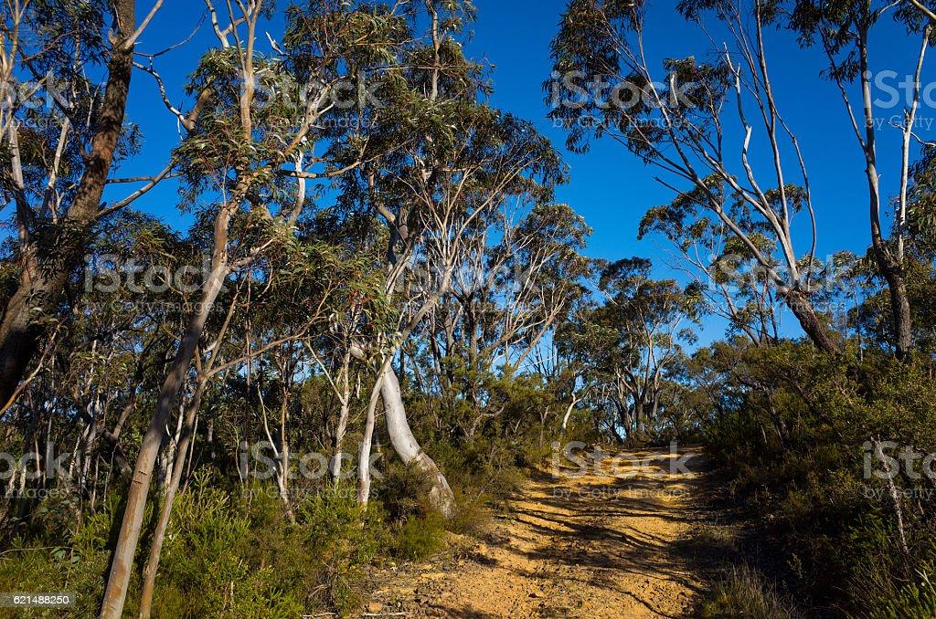 Dirt Track Leading Through a Forest of Eucalyptus trees photo libre de droits