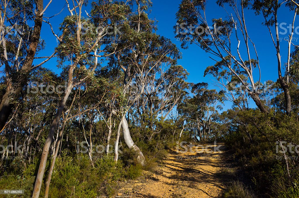 Dirt Track Leading Through a Forest of Eucalyptus trees stock photo