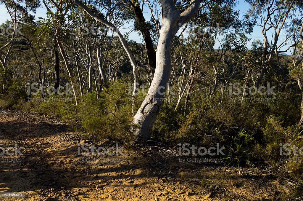 Dirt Track Leading Through a Forest of Eucalyptus trees Lizenzfreies stock-foto