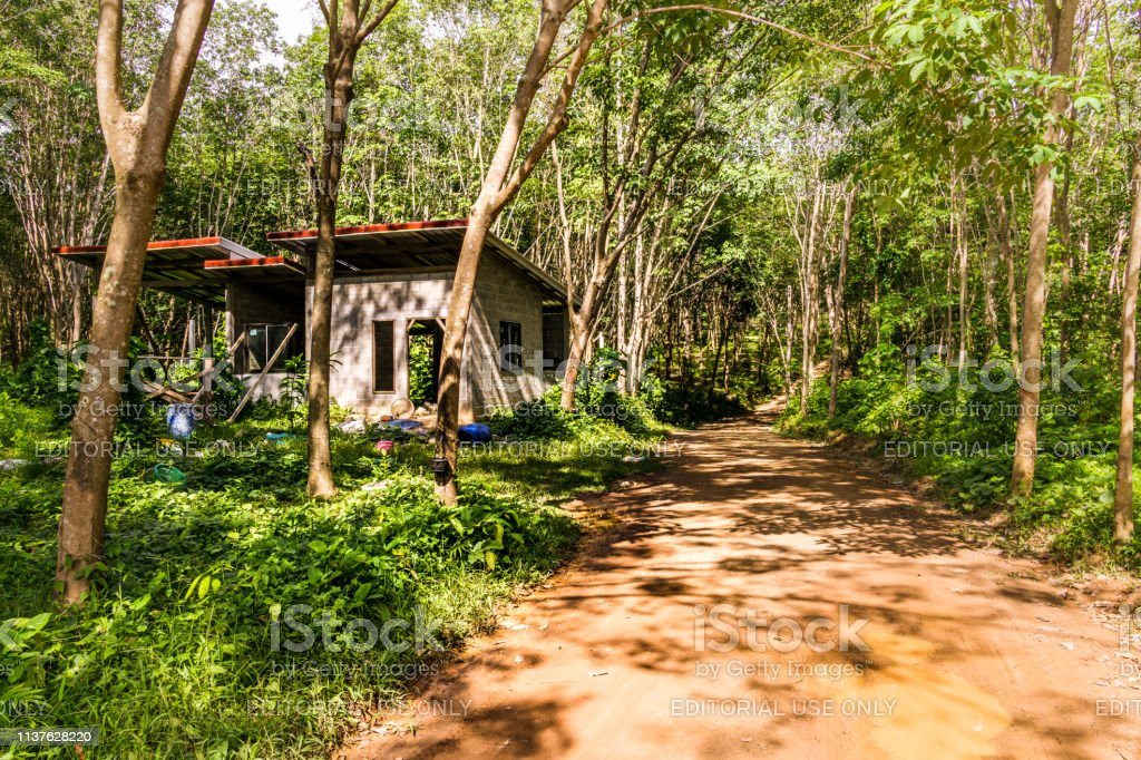 Dirt Track Through Rubber Tree Tapping Sap Plantation Stock Photo Download Image Now Istock