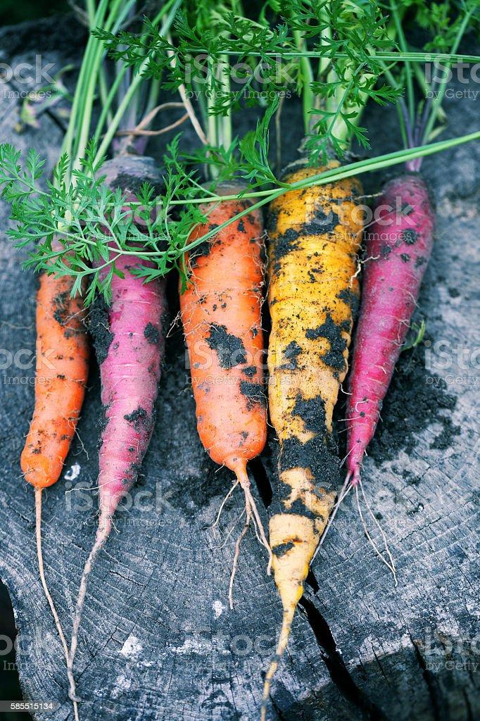 Dirty carrots stock photo