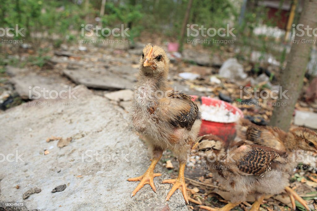 dirty chickens are fed at home garden, in Puning, Canton stock photo