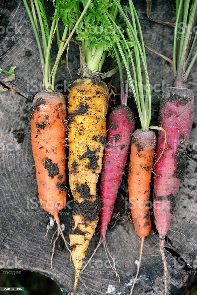 Dirty colored carrots stock photo