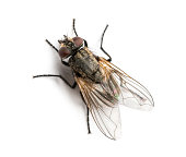 istock Dirty Common housefly viewed from up high, Musca domestica 474465413