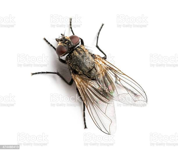 Photo of Dirty Common housefly viewed from up high, Musca domestica