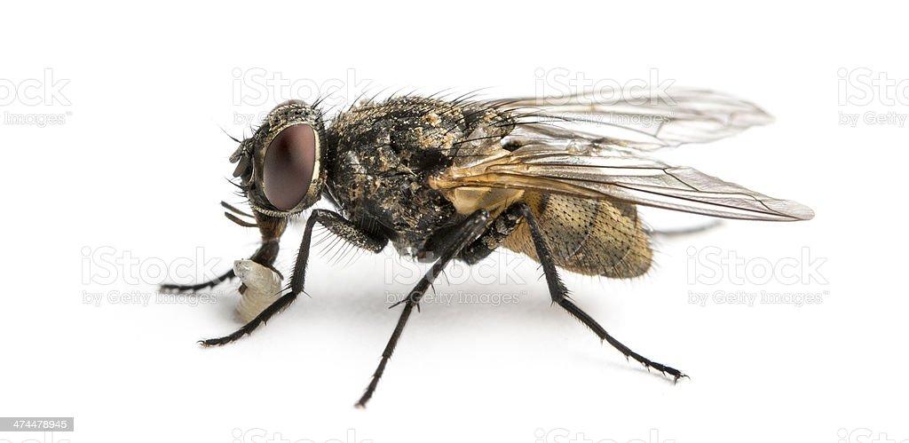 Sale Common mouche avec Larve, Musca domestica - Photo