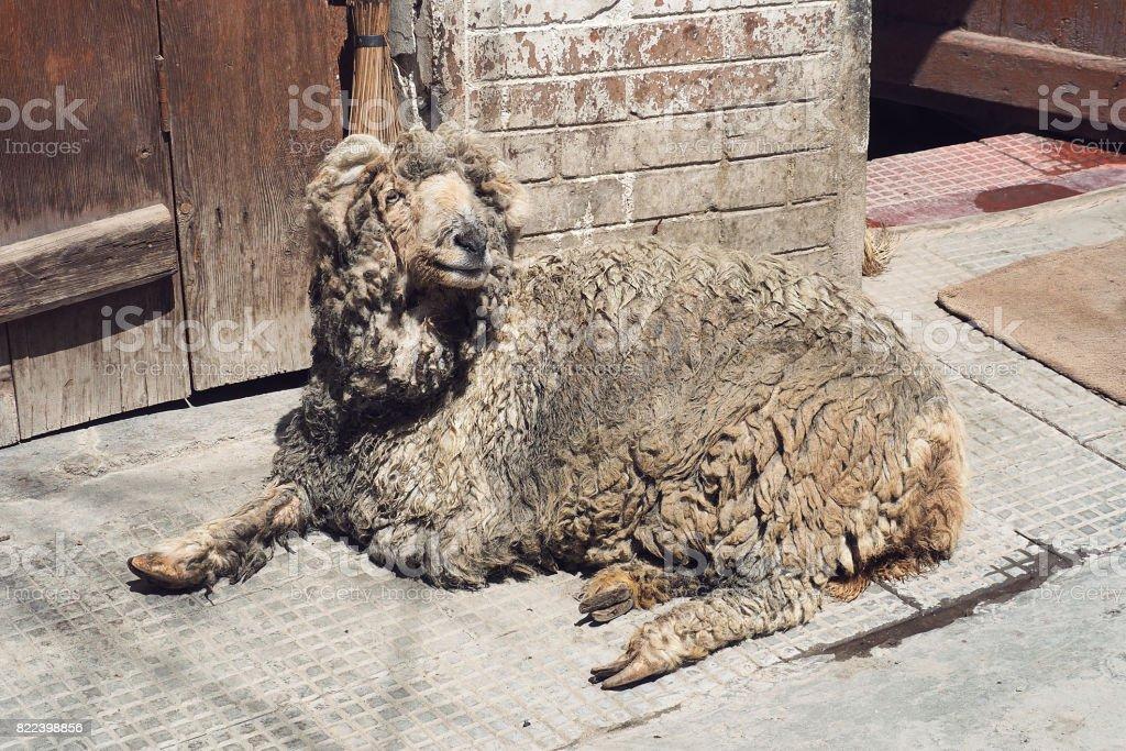 Dirty cute lazy sheep stock photo