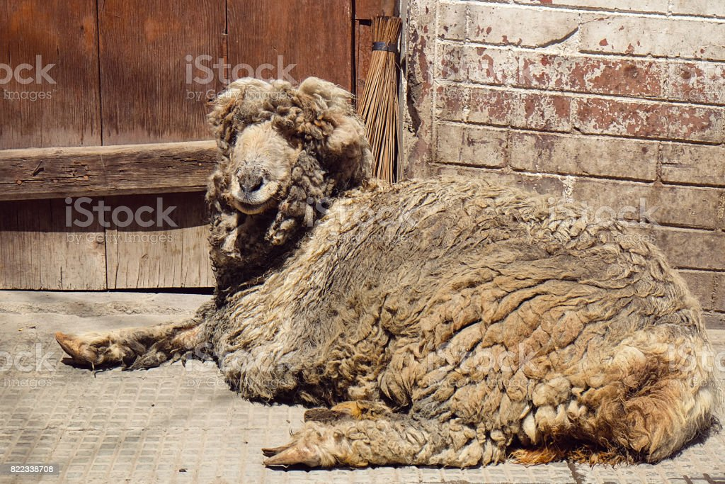 Dirty cute sheep lay on the ground stock photo