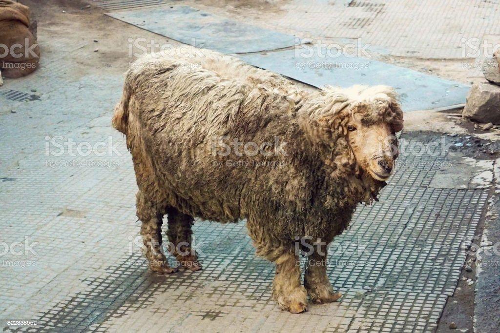 Dirty cute sheep stock photo