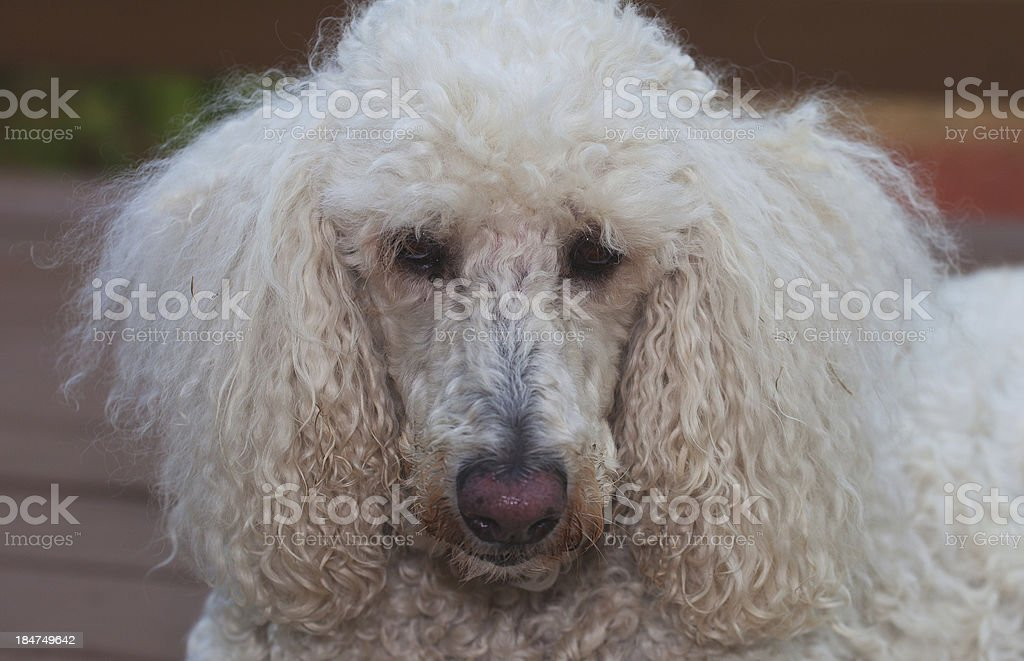 Dirty Dog royalty-free stock photo