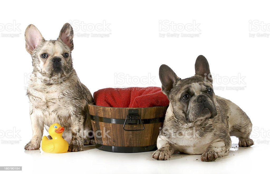 dirty dogs royalty-free stock photo