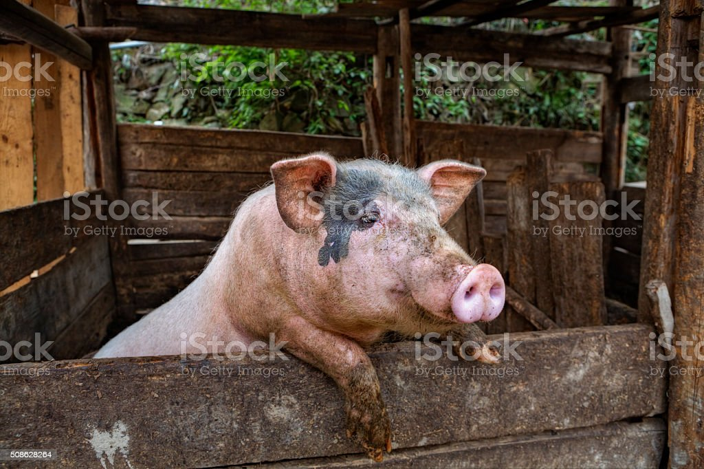 Dirty domestic Pig standing on hind legs, leaning on fence. stock photo