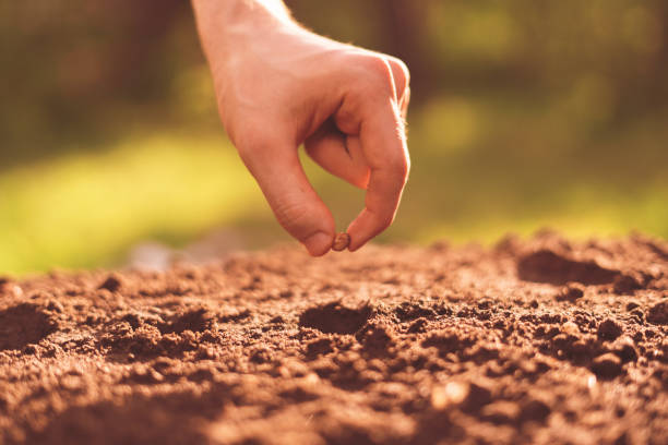 dirty farmer hand puts a plant seed in the hole in the soil stock photo