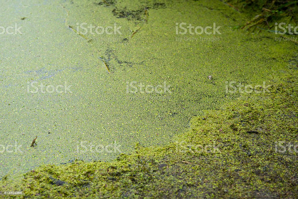 Dirty green water in lake.​​​ foto