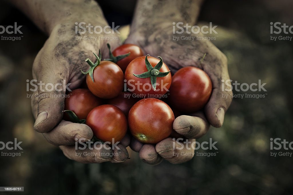 Dirty hands holding tomato harvest stock photo