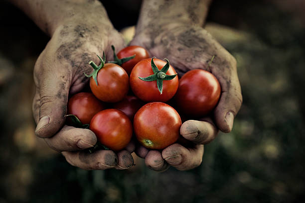 dirty hands holding tomato harvest - ripe stock photos and pictures