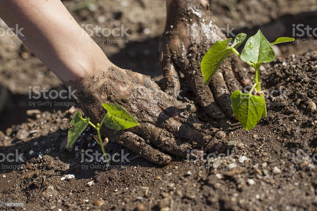 Dirty Hands Planting Beans royalty-free stock photo