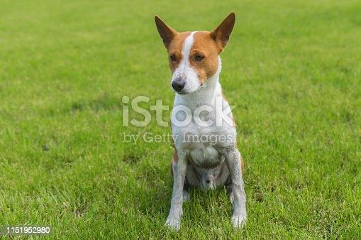 Dirty mature basenji dog sitting on a fresh lawn