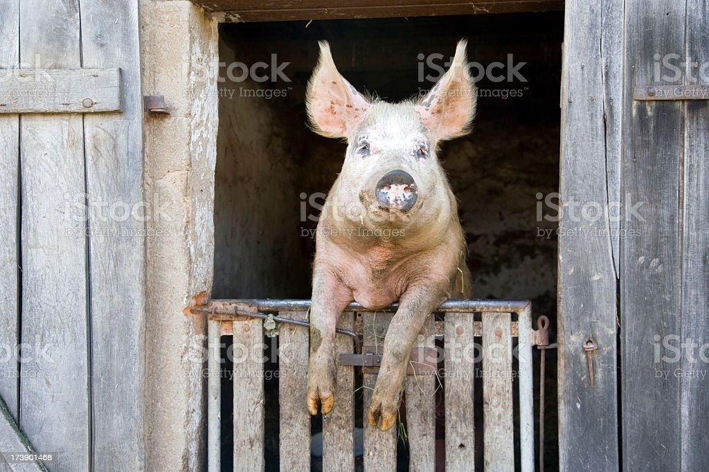 A dirty pig perched on a wooden gate royalty-free stock photo