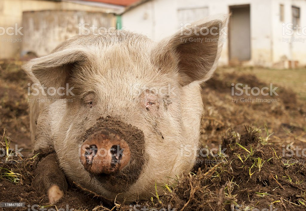Dirty Pig stock photo