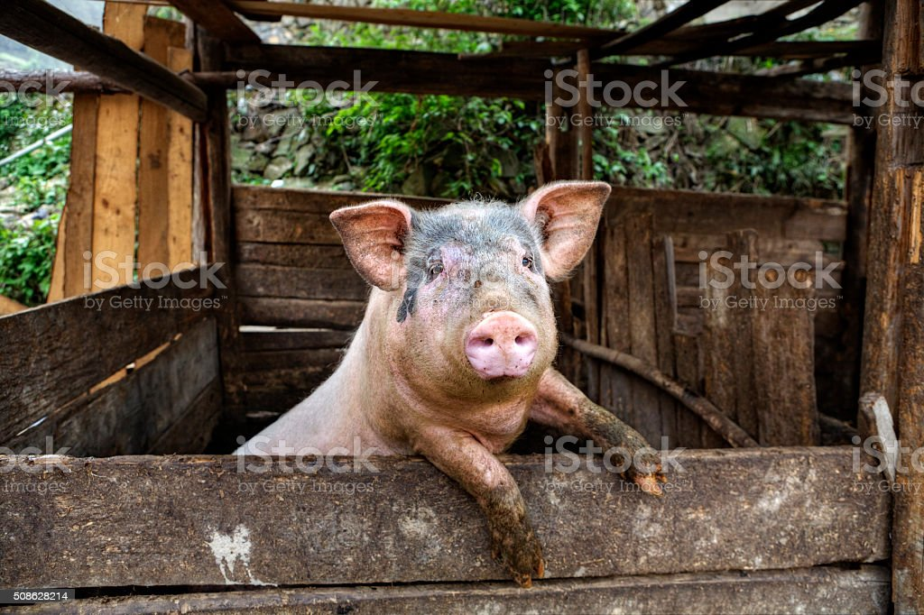 Dirty pig stands on hind legs leaning on a fence. stock photo