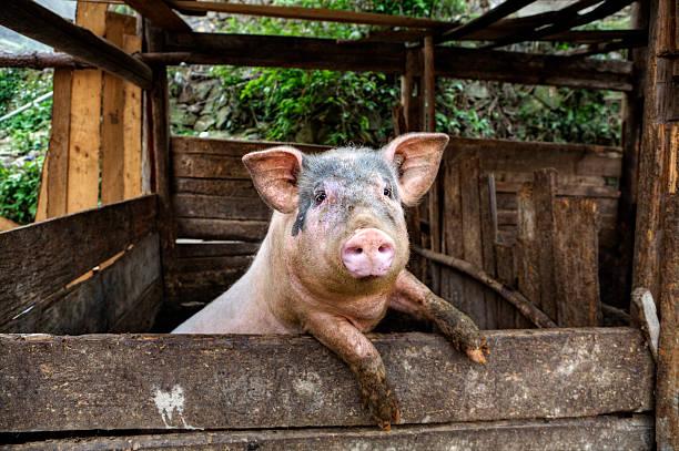 sporca maiale si trova su hind gambe appoggiato su una parete. - scrofa foto e immagini stock