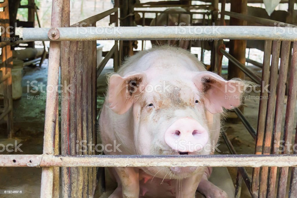 Dirty pigs at pen. stock photo
