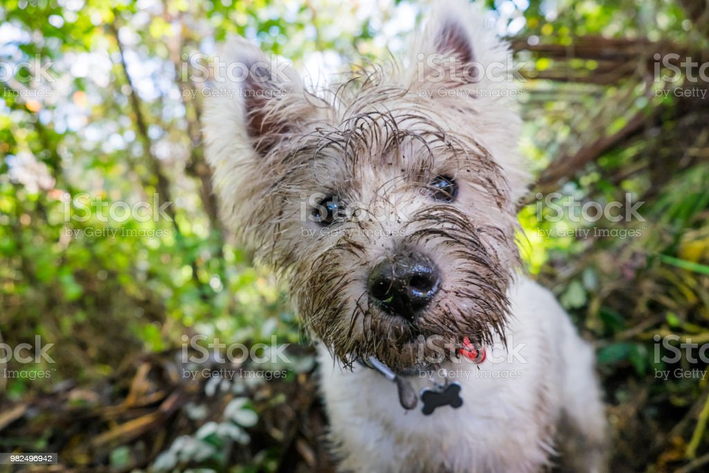 Dirty west highland terrier westie dog with muddy face outdoors in nature - portrait of head stock photo