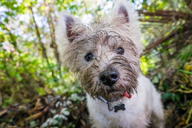 dirty west highland terrier westie dog with muddy face outdoors in nature - portrait of head - błoto zdjęcia i obrazy z banku zdjęć