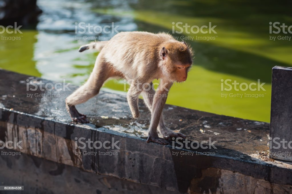Disabled animal - monkey without a hand. These stump-tailed macaques...
