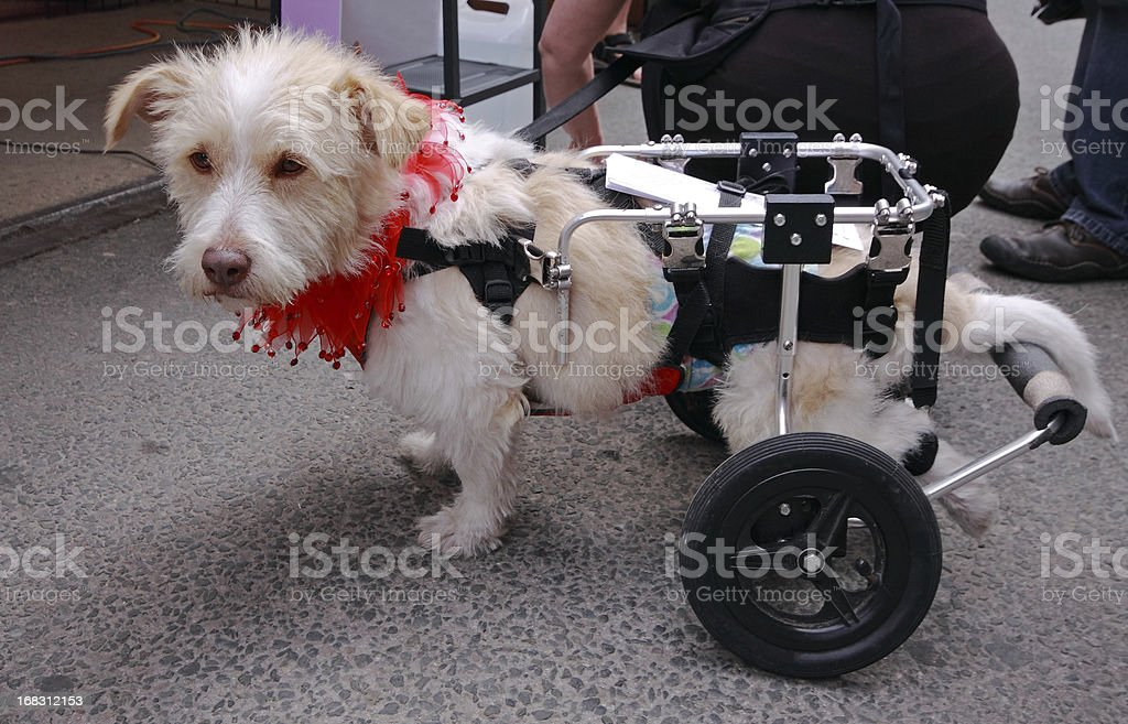 Perro para personas con discapacidades - foto de stock