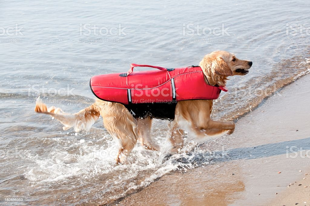 disabled dog royalty-free stock photo