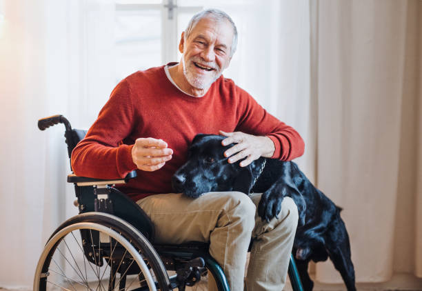 A disabled senior man in wheelchair indoors playing with a pet dog at home. stock photo