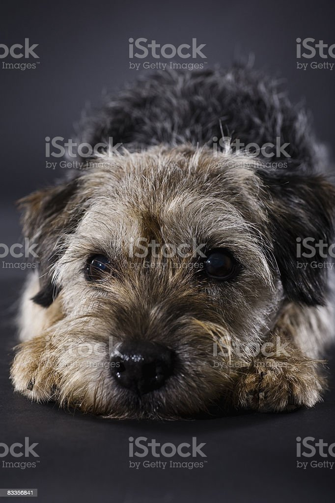 Rozczarowany Border Terrier zbiór zdjęć royalty-free