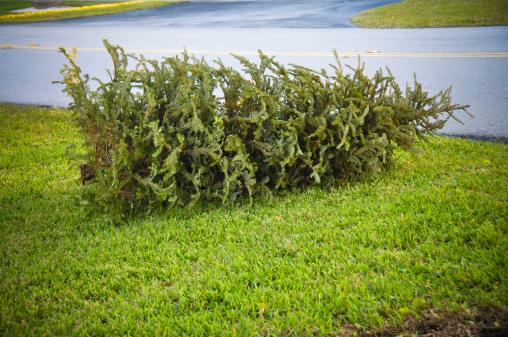 A Discarded Christmas Tree Is Laid On Its Side On A Lawn ...