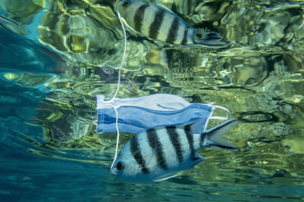 Discarded medical face mask slowly drifts under surface of water with tropical fish. stock photo