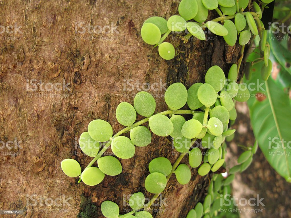 Dischidia nummularia on tree stock photo