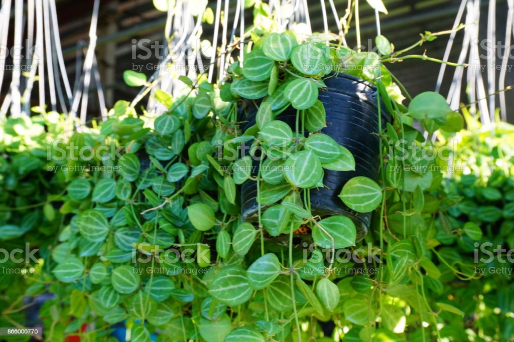 Dischidia nummularia Variegata as the green background stock photo